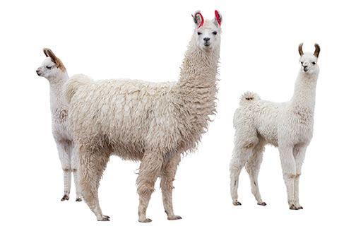 SweetPDZ is effective for livestock environments, for such animals as llamas, alpacas and goats.